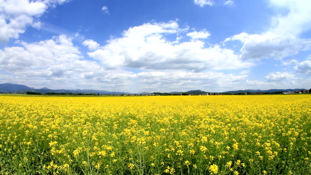 Yellow field of oilseed