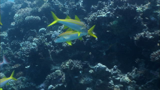 MS Yellow fin goatfish (Mulloidicthys vanicolensis) moving around reef in Red Sea / Sharm-el-Sheikh, Egypt