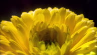 A yellow flower blooms. Available in HD.