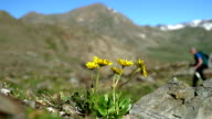 Yellow flower of Arnica with an insect and a hiker walking in background