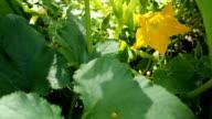 Yellow flower of blooming pumpkin VIDEO