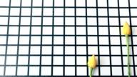 Yellow flowers, yellow tulips, checkered