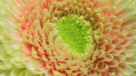 Yellow Gerbera flower blooming 4K