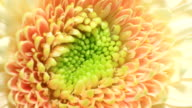 Yellow Gerbera flower blooming