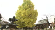 Yellow Ginkgo tree in front of pagodas