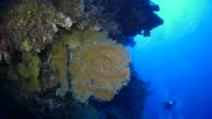 Yellow gorgonian coral on the coral wall undersea