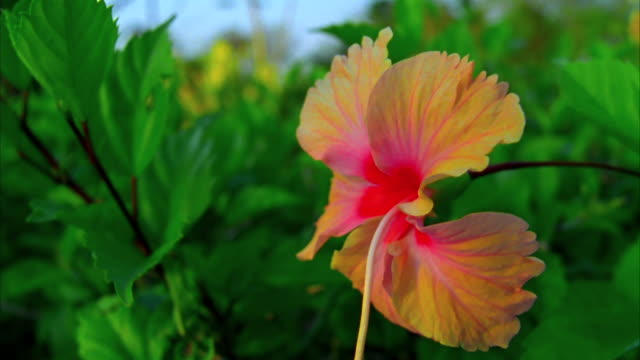 Yellow hibiscus in the wind