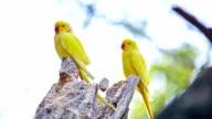 Gelbe indischen Ringneck Papagei