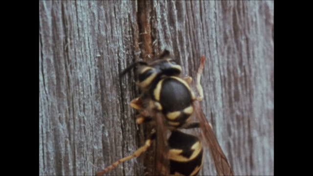 Yellow jacket wasp biting soft weathered wood of fence CU Wasp in profile regurgitating material along edge of nest wall Macro insects building...