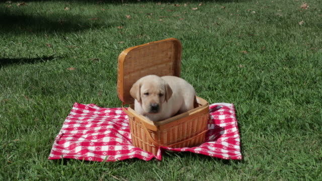 Yellow Labrador Retriever puppy in wicker basket