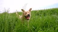 SLO MO Yellow labrador retriever running through the high grass