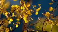 Yellow leaves quake on an aspen tree. Available in HD.