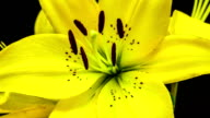 Yellow lily flower blooming in a time lapse video on a black background. Time lapse of Lilium in motion.