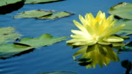 Yellow Lotus flower in pond