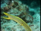 CU Yellow ribbon eel feeding in water current, Malaysia