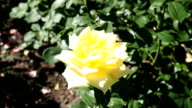 Yellow Rose flowers in the garden