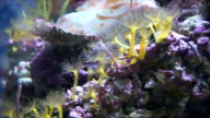 Yellow Sea anemone in natural environment.