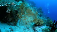 Yellow sea fan coral (gorgonian coral)