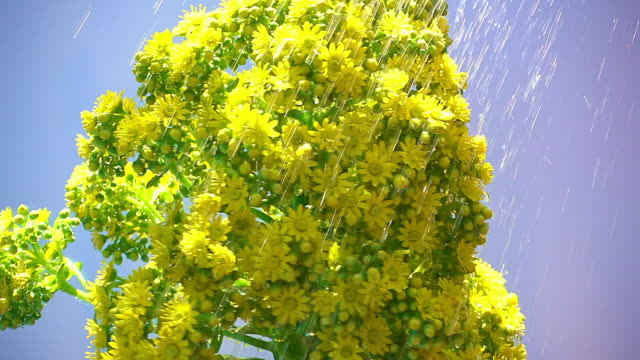 Yellow Succulent Flower