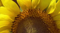 A yellow sunflower blows in the wind.