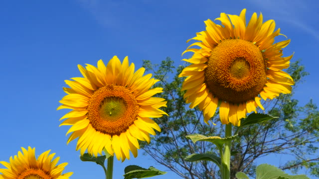 Yellow Sunflower Heads on Blue Sky Backgrounds