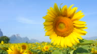 Yellow Sunflower Heads with Blue Sky Backgrounds