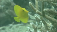 A yellow tang swims around coral branches.