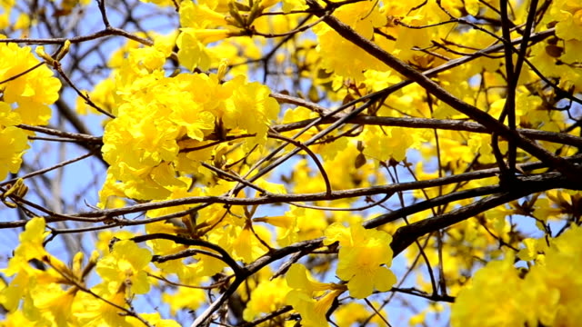 yellow tree flower with clear sky for background.