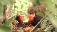 Yellow Warbler parent feeding chicks in nest.