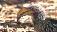 CU, Yellow-billed hornbill eating, headshot, South Africa