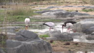 Yellow-billed storks wade and feed in small pond catching fish in their beaks, Kruger National Park, South Africa