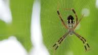 Yellow-black spider in her spiderweb - Argiope bruennichi