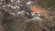 Yellowstone cutthroat trout (Oncorynchus clarkii bouvieri) jostle in river, Yellowstone, USA