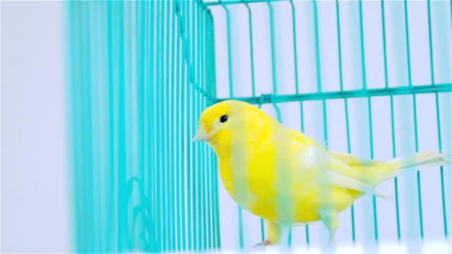 Gul fågel på en blå bur