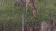 Yezo Deer In Kushiro Marsh