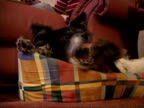 CU Yorkshire terrier puppy lying with and annoying collie dog, England