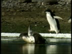 MS Young Adelie penguin stumbling as it tries to walk through oil-coated water, Antarctica