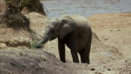 Young African Elephant Feeding Maasai Mara  Kenya  Africa
