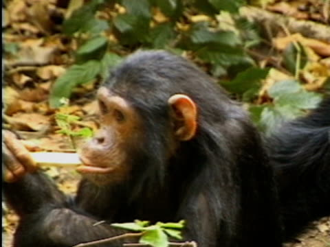 CU, PAN, Young and adult chimps (Pan troglodytes) in forest, Gombe Stream National Park, Tanzania