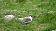 Young Arctic Tern