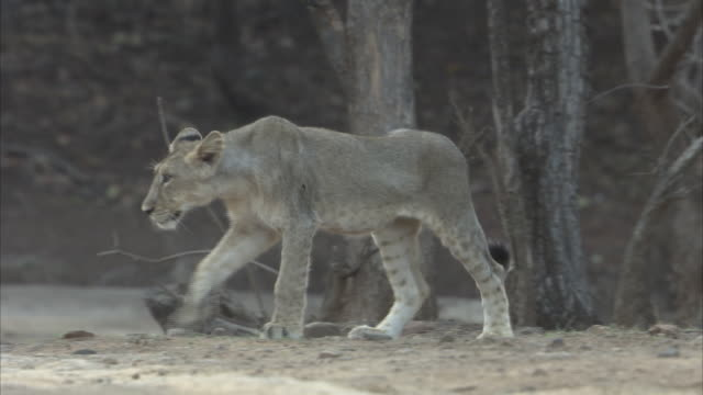 A young Asiatic lioness (panthera leo persica) watching and walking along the dusty grass