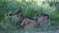 Young Blue Wildebeest lying in the grass in the shade, Kgalagadi Transfrontier Park, South Africa