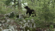 Young brown bear sniffing on the rocks