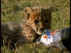 MCU Young cheetah plays with plastic bottle