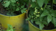 Young cherry tomatoes in garden pot, slow pan
