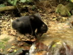 MS, PAN, Young chimp (Pan troglodytes) drinking from stream in forest, Gombe Stream National Park, Tanzania