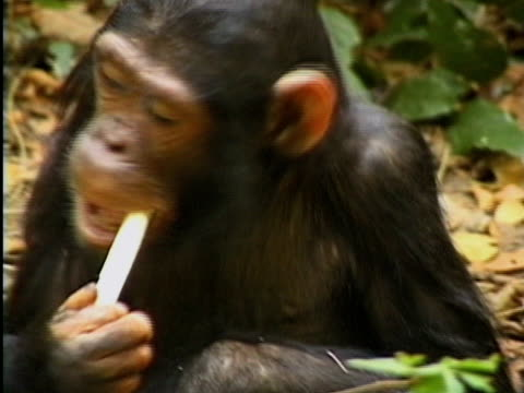 CU, Young chimp (Pan troglodytes) eating twig, Gombe Stream National Park, Tanzania