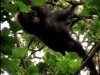 MS, LA, Young chimp (Pan troglodytes) on tree, Gombe Stream National Park, Tanzania