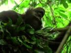 CU, LA, Young chimp (Pan troglodytes) resting on tree, Gombe Stream National Park, Tanzania