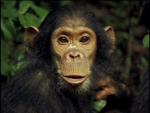 CU, Young chimpanzee (Pan troglodytes) vocalizing and climbing on adult, Gombe Stream National Park, Tanzania